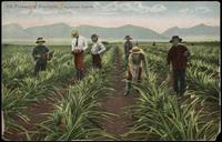 114. Pineapple Plantation, Hawaiian Islands