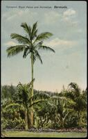 Coconut, Royal Palms and Palmettos. Bermuda